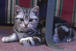 Image of American Shorthair silver tabby laying in front of striped couch