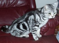 Image of American Shorthair silver tabby sitting on red leather couch