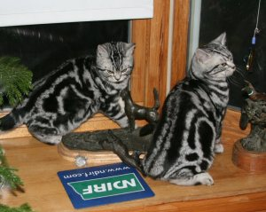 Image of two male American Shorthair silver tabby kittens sitting on wooden countertop