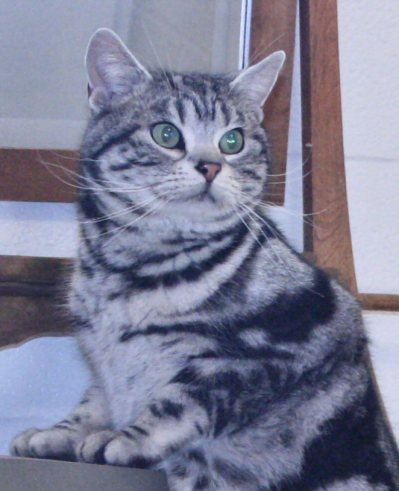 Image of American Shorthair silver tabby male