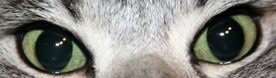 Close up image of American Shorthair silver tabbys Emerald green eyes front view