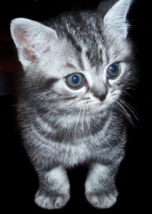 Image of gray American Shorthair silver tabby kitten