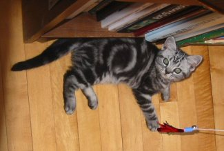 Image of gray American Shorthair silver tabby kitten lying on wood floor playing with feather toy