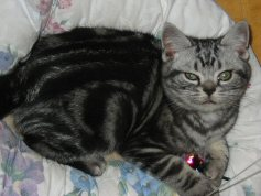 Image of gray American Shorthair silver tabby kitten curled up in white kitty bed