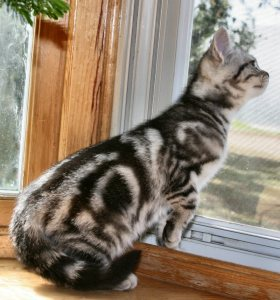 Image of American Shorthair classic silver tabby kitten looking out window