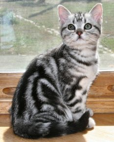 Image of American Shorthair classic silver tabby kitten sitting on wood windowsill