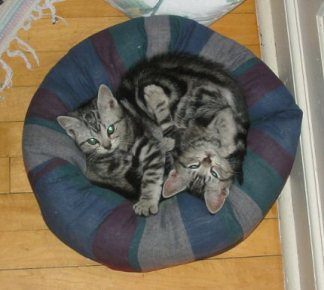 Image of Silver tabby American Shorthair kittens in cat bed