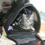 Image of Silver tabby American Shorthair cat in soft sided crate