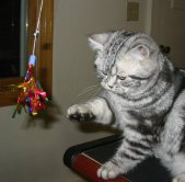 Image of silver tabby American Shorthair cat playing with sparkler toy