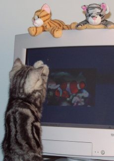 Image of American Shorthair silver tabby kitten playing with fish screensaver on monitor