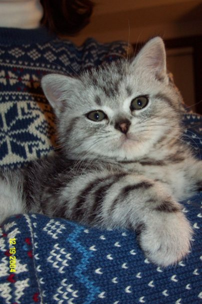Image of American Shorthair silver tabby kitten snuggled in someones arm