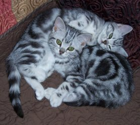 Image of two silver tabby American Shorthair kittens curled together for a nap