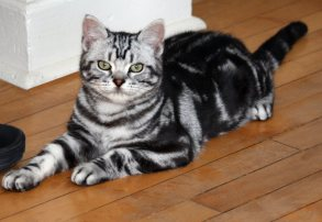 Image of American Shorthair classic silver tabby cat with necklaces lying on wood floor