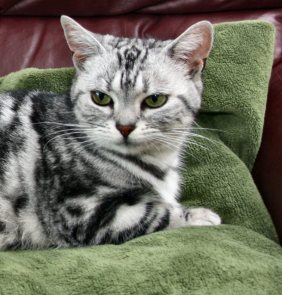 Image of American Shorthair silver tabby lying on green blanket