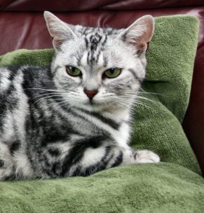 Image of American Shorthair silver tabby lying on green blanket
