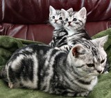 Image of Mother and kittens American Shorthair silver tabby cats lying on red leather couch with green blanket