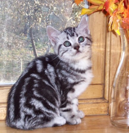 Image of American Shorthair silver tabby kitten on wood windowsill with fall leaves