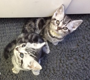 Image of two American shorthair silver tabby kittens sitting on nubby gray carpet