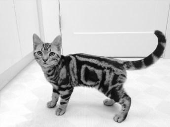 Black White image of American Shorthair silver tabby 4 month old kitten with bullseye