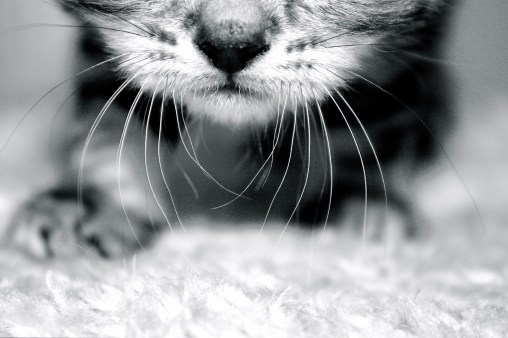 Black and white Close up image of American Shorthair kitten whiskers