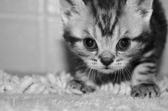 Black and white Close up image of silver gray tabby American Shorthair kitten