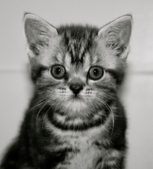 Black and white Close up image of silver gray tabby American Shorthair kitten face