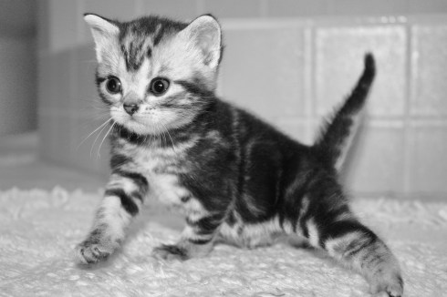 Black and white image of gray silver tabby American Shorthair kitten
