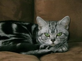 Image of American Shorthair silver tabby cat with emerald green eyes lying on brown sofa
