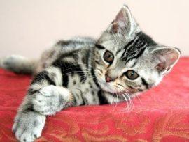 Image of gray silver tabby CFA american shorthair male kitten