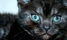 Image of American Shorthair black smoke kitten green eyes