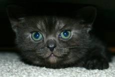 Image of American Shorthair black smoke kitten green eyes peeking out from under bed