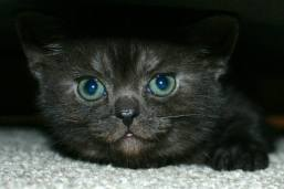 Image of American Shorthair black smoke kitten green eyes peeking out from under bed