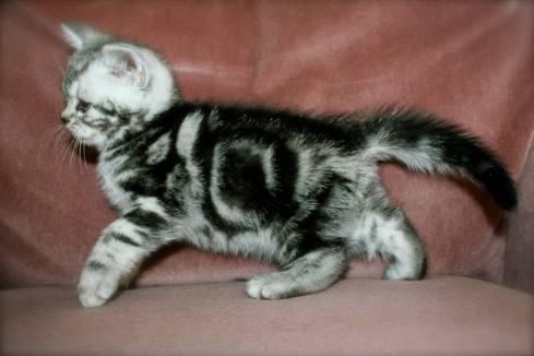 Image of American Shorthair silver tabby kitten left side on rose pink background