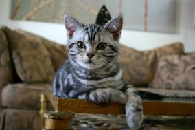 Image of face view of American Shorthair silver tabby kitten with necklaces relaxing on coffee table