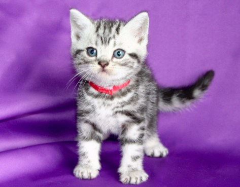 Image of silver tabby American Shorthair kitten with red collar
