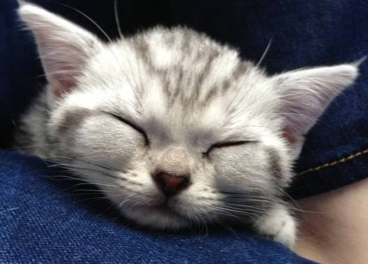 Image of face of American Shorthair silver tabby kitten sound asleep