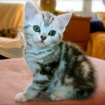Image of American Shorthair silver tabby kitten sitting on pink footstool