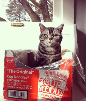 Image of American Shorthair cat in Cup-o-noodle box
