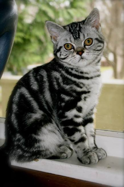 Image of American Shorthair classic silver tabby