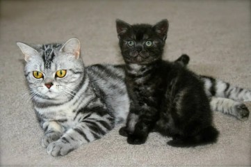 Image of Mother American Shorthair silver tabby stretched out beside black smoke kitten