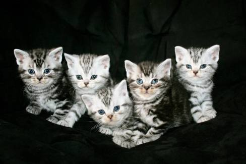 Image of Five American Shorthair silver tabby kittens on black background