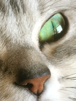 Close up Image of emerald green cat eye of Silver tabby American Shorthair