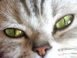 Close up Image of Silver tabby American Shorthair cat with green eyes