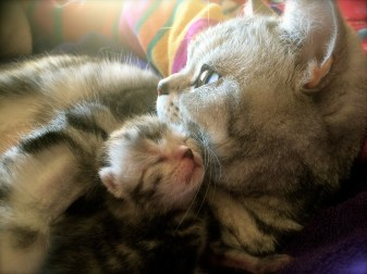 Close up Image of silver tabby American Shorthair cat with newborn kitten