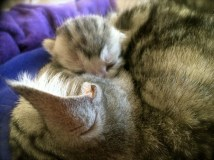 Image of silver tabby American Shorthair kitten snuggled with mother
