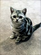 Image of six month old American Shorthair classic silver tabby kitten