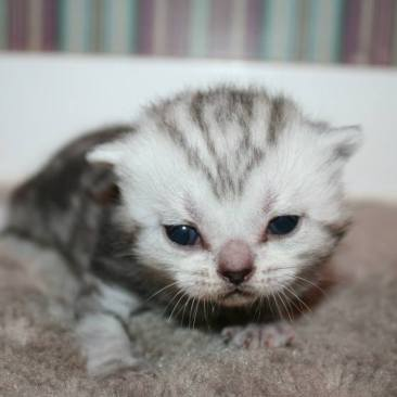Image of Newborn silver faced American Shorthair Silver tabby kitten