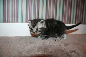 Image of left side view American Shorthair silver tabby kitten
