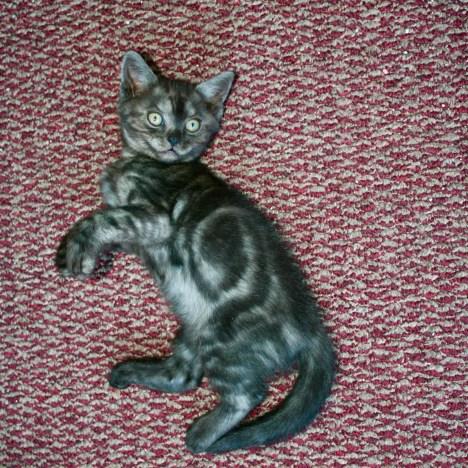 Image of black smoke tabby American Shorthair Kitten bullseye pattern