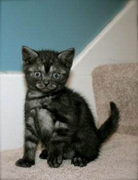 Image of American Shorthair Black Smoke kitten